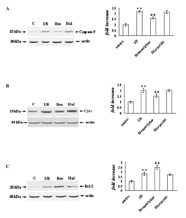 Expression of caspase-9 (A), release of cytochrome c (B), and expression of Bcl-2 (C) determined by Western blot analysis . The intensity of each band was quantified by densitometry, and data were normalized to the β-actin signal. The expression levels in the control group were considered the basal levels, and the others are expressed as fold change from the control group. The fold change values represent the means ± S.E.M. of five determinations. ▼▼ P