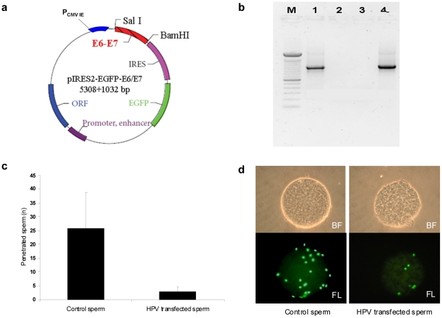 Sperm transfected with E6/E7 plasmid penetrate oocytes. a . Scheme of the recombinant plasmid pIRES2-AcGFP1-E6E7. E6/E7 genes have been amplified (1032 bp) from plasmid p1321 HPV-16 E6/E7 by PCR and subcloned to plasmid pIRES2-AcGFP1 between <t>SalI</t> and <t>BamHI</t> restriction sites. b . PCR for HPV E6/E7 genes from transfected sperm. Lane M: DNA marker (100 bp); 1: sperm transfected with recombinant E6/E7 plasmid; 2: negative control (no template); 3: sperm transfected only with Lipofectamine 2000; 4: positive control (pIRES2-AcGFP1-E6E7 plasmid). c . Mean number of human sperm penetrated per hamster oocyte in control and sperm transfected with HPV-16 E6/E7 plasmid. d . Hamster oocytes penetrated by control sperm and sperm transfected with HPV16 E6/E7 plasmid in bright field (BF, upper panel) and fluorescence (FL, lower panel) using SYBR green DNA stain.