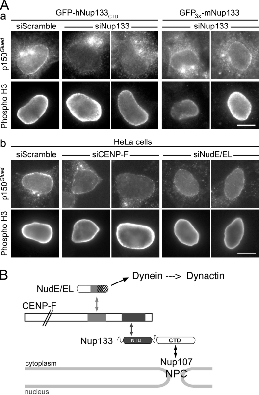 hNup133 contributes to dynactin anchoring at the NE at the G2/M transition via CENP-F and NudE/EL. (A) GFP-hNup133 CTD or GFP 3x -mNup133 cells (a) or wild-type HeLa cells (b) transfected with the indicated siRNA duplexes were processed for immunofluorescence using anti-p150 Glued and anti–phospho-H3 antibodies. Bars, 10 µm. See also Fig. S3 . (B) Schematic representation of the interaction networks connecting Nup133 to dynein/dynactin. Proteins are represented on approximate scale except for CENP-F. Boxes indicate the minimal domains involved in the interactions between Nup133 and CENP-F (black boxes; this paper and Zuccolo et al., 2007 ), CENP-F and NudE/EL (gray boxes), and between NudE/EL and dynein (dashed area overlapping with the CENP-F interaction domain; Liang et al., 2007 ; Stehman et al., 2007 ; Vergnolle and Taylor, 2007 ). Although not represented on this scheme, association of CENP-F with the pool of Nup133 localized on the nuclear side of NPCs cannot be excluded.