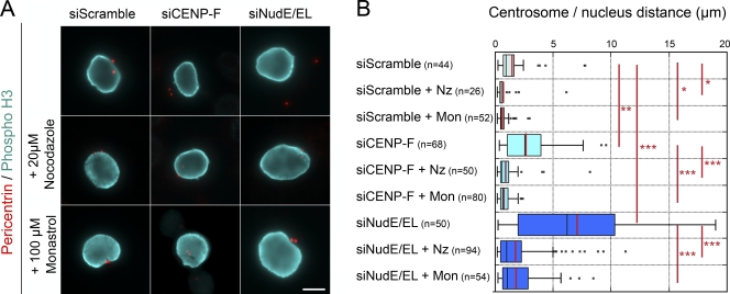 Centrosome movement away from the nuclear periphery requires microtubules and Eg5 activity. (A) HeLa cells transfected with scramble, CENP-F, or NudE/EL siRNA duplexes were either fixed (top row) or incubated with 20 µM nocodazole for 30 min or with 100 µM monastrol for 1 h before fixation. They were then stained with anti-pericentrin and anti–Phospho-H3 antibodies. Note that under those conditions, all phospho-H3–positive cells had entered prophase in the absence of microtubules or before Eg5 activation. All images arise from a single experimental dataset, although they were captured at different times using slightly different acquisition settings. Either a unique plane or maximum intensity projections of stacks are presented, as needed, depending on the locations of the centrosomes relative to the focal plane. Bar, 10 µm. (B) Distances between centrosomes and the NE, measured in phospho-H3–positive cells processed as above, are represented as box-plots using KaleidaGraph (see Materials and methods). The black and red bars indicate the median and mean values, respectively. The total number of cells quantified is indicated ( n ). ***, P