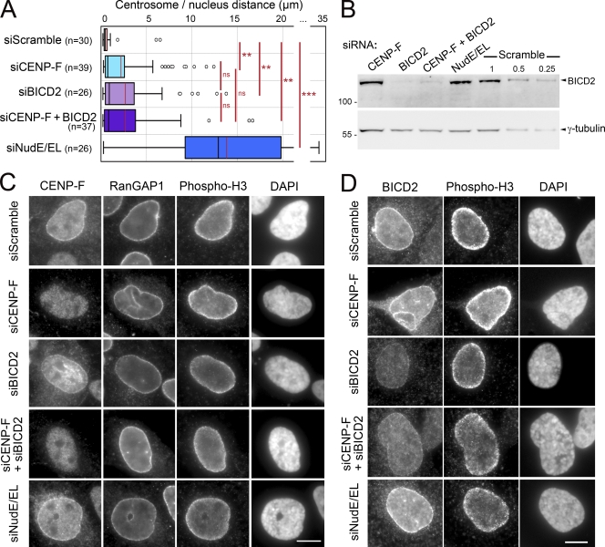 Relationship between the Nup133–CENP-F–NudE/EL and RanBP2–BICD2 pathways in centrosome tethering to the NE in U2OS cells. (A) Distances between centrosomes and nuclear periphery, measured in phospho-H3–positive U2OS cells treated for 3 d with scramble, CENP-F, BICD2, a combination of CENP-F and BICD2, or NudE/EL siRNA duplexes. Distances are represented as box-plots using KaleidaGraph (see Materials and methods). The black and red bars indicate the median and mean values, respectively. The total number of cells quantified is indicated ( n ). ***, P