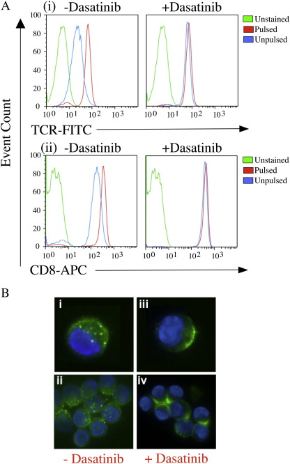 Dasatinib blocks antigen-induced TCR downregulation and tetramer internalization from the cell surface. A. Mel13 CTL were pre-treated with PBS ± 50 nM dasatinib and exposed to C1R-A2 B cells previously pulsed with 10 -6 M ELAGIGILTV peptide or medium alone for 4 h at 37 °C. Cells were subsequently stained with anti-TCR-FITC (clone BMA 031; Serotec) and anti-CD8-APC (clone RPA-T8; BD Pharmingen) mAbs for 30 min on ice, washed twice and resuspended in PBS. Data were acquired on a <t>FACSCalibur</t> flow cytometer (BD) and analyzed using FlowJo software. B. 10 5 ILA1 CTL were pre-treated with PBS (i ii) or PBS + 50 nM dasatinib (iii iv) for 30 min at 37 °C, then stained with 20μg/ml HLA A2/ILAKFLHWL-Alexa488 tetramer for 15 min at 37 °C. Microscopy was performed as described in the Materials and methods.