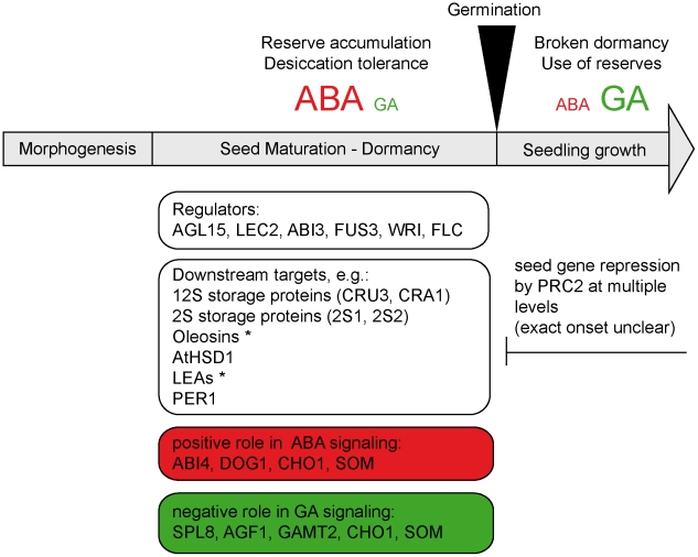 PRC2 represses seed maturation and dormancy genes in the seedling. All genes provided in this model have been identified as H3K27me3 targets and were significantly up-regulated in fie mutants. They include master regulators of seed development such as AGL15 , LEC2 , ABI3 , FUS3 , further downstream regulators such as WRI , integrators of environmental signals such as FLC and finally genes involved in seed storage and desiccation tolerance. * For detailed information which members of the oleosins (oil body coat proteins) and LEAs (late embryogenesis abundant proteins) are affected see Table S5 . For LEC2 the up-regulation was only observed in qRT-PCR ( Table S4 ). We find here that the ABA and GA hormonal signaling pathways that play a pivotal role in the transition form seed to seedling are under PRC2 control since genes playing a positive role in ABA signaling as well as genes with a negative role in GA signaling are H3K27me3 marked in wild type and up-regulated in fie . Large letters stand for high and small for low ABA and GA levels, respectively. Abscisic acid (ABA), Gibberellic acid (GA), AGAMOUS-Like 15 (AGL15, AT5G13790), LEAFY COTYLEDON 2 (LEC2, AT1G28300), ABA INSENSITIVE 3 (ABI3, AT3G24650), FUSCA 3 (FUS3, AT3G26790), WRINKLED1 (WRI, AT3G54320), FLOWERING LOCUS C (FLC, AT5G10140), CRUCIFERIN 3 (CRU3, AT4G28520), CRUCIFERINA (CRA1, AT5G44120), SEED STORAGE ALBUMIN 1 (2S1, AT4G27140), SEED STORAGE ALBUMIN 2, (2S2, AT4G27150), HYDROXYSTEROID DEHYDROGENASE 1 (AtHSD1, AT5G50600), Peroxiredoxin 1 (PER1, AT1G48130), ABA INSENSITIVE 4 (ABI4, AT2G40220), DELAY OF GERMINATION 1 (DOG1, AT5G45830), CHOTTO 1/AINTEGUMENTA-LIKE 5 (CHO1/AIL5, AT5G5739), SOMNUS (SOM, AT1G03790), SQUAMOSA PROMOTER BINDING PROTEIN-LIKE 8 (SPL8, AT1G02065), AT-hook protein of GA feedback 1 (AGF1, AT4G35390), GIBBERELLIC ACID METHYLTRANSFERASE 2 (GAMT2, AT5G56300).