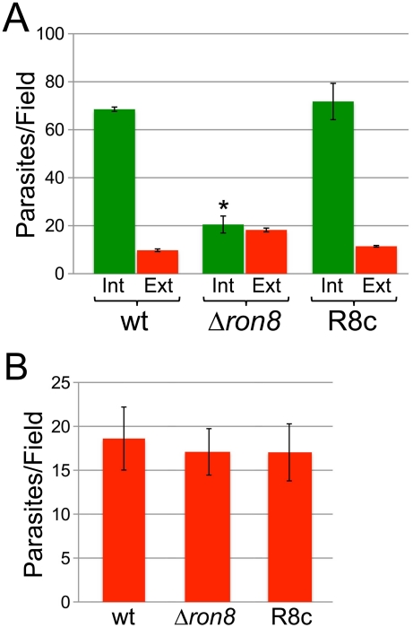 Parasites lacking RON8 are deficient in invasion likely through increased detachment from host cells. A ) Quantification of invasion using red/green assays demonstrates a substantial invasion defect for Δron8 parasites that is rescued upon complementation. Green bars represent internal/penetrated parasites, while red bars depict attached/extracellular parasites for wildtype, Δron8 , or R8c strains allowed to invade fibroblast monolayers for 1 hour. For each strain, at least 250 total parasites were counted from nine random fields per sample, and values are presented as internal (Int) or external (Ext) parasites per field. Data are mean values +/− SEM (error bars) for two independent experiments performed in triplicate. The asterisk indicates that parasite penetration is significantly lower (p value = 0.0245 using a Student's two-tailed t-test) in Δ ron8 parasites compared to wildtype. B ) Initial stages of attachment are unaffected in Δ ron8 parasites. Equal numbers of wildtype, Δron8 , or R8c parasites were preincubated with 1 µM cytochalasin D for 15 min prior to incubation with host fibroblasts in the presence of cytochalasin D, then fixed and stained in detergent-free conditions with rabbit antisera against SAG1. For each strain, values are displayed as total numbers of parasites counted divided over nine random fields. The data is expressed as mean values +/− SEM for two independent experiments performed in triplicate.