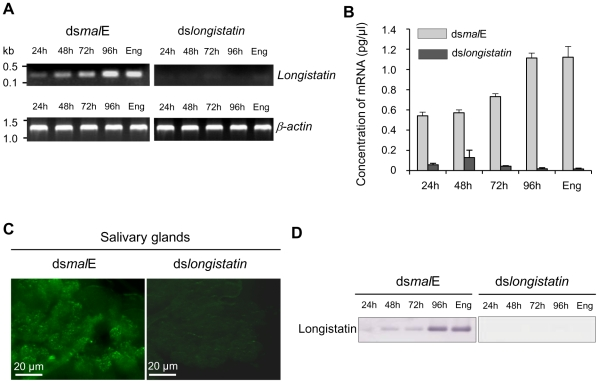 Post-transcriptional silencing of longistatin-specific gene in adult ticks by injecting dsRNA. (A) Semiquantitative RT-PCR analysis. One microgram of longistatin dsRNA was injected into the hemolymph of ticks of the RNAi-treated group. Ticks of the control group were treated with 1 µg of mal E dsRNA. Actin was used as an internal control. Eng, engorged. (B) Quantitative RT-PCR using total RNA and primers specific for longistatin as in A. Eng, engorged. (C) In situ detection of longistatin expression in ticks' salivary glands. Salivary glands from the ticks of control and RNAi-treated groups. Endogenous longistatin was reacted with mouse anti-longistatin sera (1∶100). (D) Effect of gene silencing on longistatin post-translation by Western blot analysis. Salivary gland extracts were electrophoresed and transferred onto nitrocellulose membrane. Endogenous longistatin was probed with mouse anti-longistatin (1: 100). Eng, engorged.