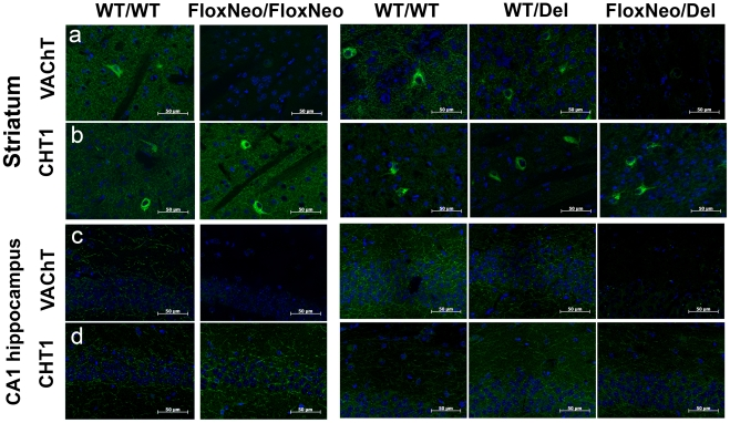 VAChT immunorreactivity is altered in VAChT mutant mice. a) Representative optical sections from striatum stained with a VAChT antibody (green) or b) stained with CHT1 antibody (green). c) Representative optical sections from hippocampus stained with a VAChT antibody or d) CHT1 antibody (green). Dapi labelling (blue) was used to stain nuclei. Scale bar 50 µm.