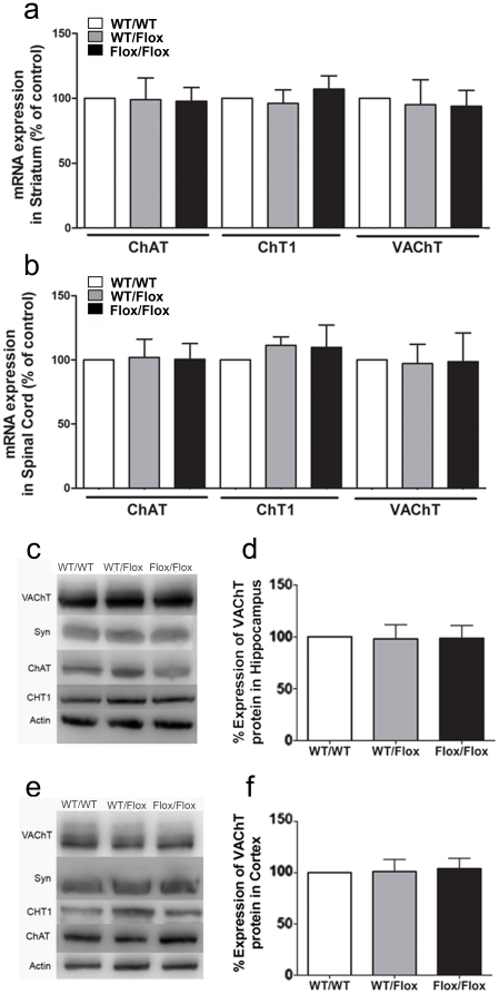 Genetic rescue of VAChT-mutant mice. a) VAChT, ChAT, and CHT1 mRNA levels were measured by qPCR in the striatum of WT mice (white bar), VAChT WT/Flox (grey bar) and VAChT Flox/Flox (black bar) mice. b) VAChT, ChAT, CHT1 mRNA levels in the spinal cord of WT mice (white bar), VAChT WT/Flox (grey bar) and VAChT Flox/Flox (black bar) mice. c) Representative immunoblot of control, VAChT WT/Flox and VAChT Flox/Flox mice in striatum. d) Quantification of protein levels. Actin immunoreactivity was used to correct for protein loading between experiments. Data are presented as a percentage of wild-type levels. e) Representative immunoblot of control, VAChT WT/Flox and VAChT Flox/Flox mice in spinal cord. f) Quantification of protein levels. Actin immunoreactivity was used to correct for protein loading between experiments. Data are presented as a percentage of wild-type levels.