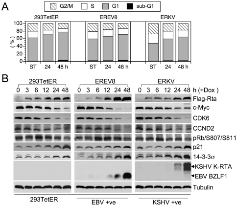 Rta-mediated cell cycle arrest precedes the expressions of viral immediate-early genes. (A) Dox-treated 293TetER, EREV8, and ERKV cells cultured for 24 and 48 h were subjected to flow cytometry analysis to quantify the cellular DNA content. The distributions of cells residing in the G2/M, S, G1, and subG1 stages at each time are shown. The results of three independent experiments were similar, and one representative dataset is shown. (B) Comparative expression kinetics (0–48 h) of cell cycle regulators or viral immediate-early proteins in Dox treated 293TetER, EREV8 and ERKV cells. Down-regulation of cell cycle activators (c-Myc, CDK6, CCND2, phosphorylated pRb) and up-regulation of cell cycle inhibitors <t>(p21,</t> 14-3-3σ) are temporally associated with the expression of Rta in all three cell lines. In comparison, EBV BZLF1 and KSHV K-RTA are not significantly augmented until 48 h, a time that alterations of cell cycle gene are nearly completed. α-tubulin served as a loading control.