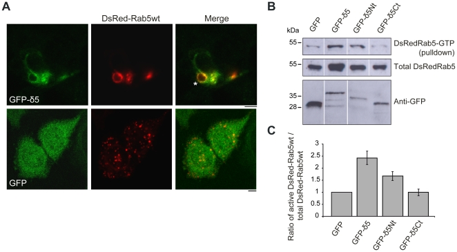 Dmknδ expression in HeLa cells modifies the balance Rab5-GTP/Rab5-GDP. A . HeLa cells transiently transfected with DsRed-Rab5wt (red) and GFP-Dmknδ5 or GFP alone (green), were observed by confocal microscopy. Bars, 5 µm B. DsRed-Rab5wt was co-expressed in HeLa cells with GFP, GFP-Dmknδ5 (GFP-δ5), GFP-Dmknδ5-Nt (GFP-δ5Nt), or GFP-Dmknδ5-Ct (GFP-δ5Ct) as indicated. Top, detection of DsRed-Rab5wt-GTP amount retained by R5BD-GST with the anti-Rab5 antibody. Middle , total amount of DsRed-Rab5wt protein present in each HeLa protein extract used for the pull-down experiment as determined by immunoblot with the anti-Rab5 antibody. Bottom , expression analysis of the different GFP-tagged constructs immunoblotted with the anti-GFP antibody. C. Quantification of active DsRed-Rab5wt-GTP. The ratio of DsRed-Rab5wt-GTP over total DsRed-Rab5wt was determined for each condition. Western blots from two independent experiments were analysed by densitometry. Values are mean ± s.e.m.