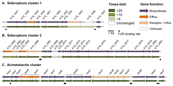Transcriptional profiling of three siderophore gene clusters identified in A. baumannii ATCC 17978 . Transcriptional alteration of the three siderophore gene clusters to low iron conditions are shown, (A) siderophore gene cluster 1 (A1S_1647-1657), (B) siderophore cluster 2 (A1S_2562-2581) and (C) the acinetobactin gene cluster (A1S_2372-2392). The top arrows show predicted gene function; siderophore biosynthesis in purple, receptors and uptake mechanisms in light orange, efflux pumps in orange and genes of unknown function in white. The relative transcriptional differences between A. baumannii grown under iron replete and iron limiting conditions are depicted in the bottom set of arrows according to the green color scale bar, all values are in times-fold difference. Genes depicted in white were not differentially expressed and those in dark green were overexpressed more than 25-fold. No significant down-regulation was observed within the siderophore gene clusters. Putative FUR boxes are shown as black arrows.