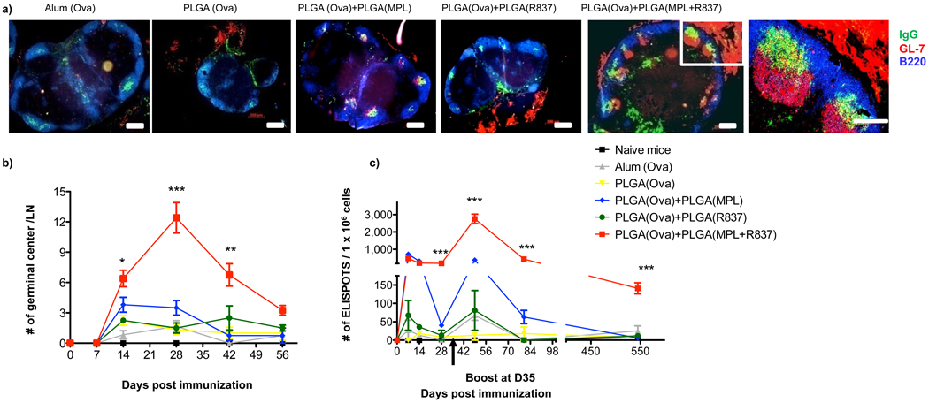 Immunization with nanoparticles containing <t>MPL+R837</t> induces persistent GCs and long lived antibody forming cells in draining lymph nodes a) C57BL/6 mice were immunized with OVA encapsulated in nanoparticles with MPL+R837 plus antigen. 4 weeks post primary immunization draining lymph nodes were excised, tissue sections prepared and stained for GCs (GL-7 red, B220 blue and IgG green). Images are representative of 2 independent experiments with draining lymph nodes obtained from at 2–3 mice per treatment condition per experiment. b) GCs were counted in LN sections at the time points indicated and represented as mean ± s.e.m from 4–6 draining lymph nodes from n=2–3 mice/treatment group. c) ELISPOT assay. Combination of TLR4 and <t>TLR7</t> ligands has no effect on the short lived ASCs, but stimulates long lived ASCs that persist for ~1.5 years. Graph represents average spots per 1 × 10 6 total lymph node cells ± s.e.m from duplicate cultures per treatment group. Data is representative of at least 2–3 independent experiments per time point indicated.