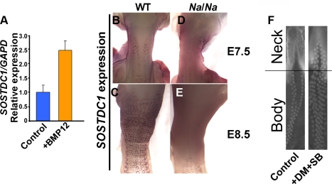 Naked neck skin displays elevated BMP signaling. (A) Application of recombinant BMP12 to cultured skin for 15 h leads to elevation of SOSTDC1 expression, determined by quantitative RT-PCR. (B–E) Detection of SOSTDC1 expression by in situ hybridization. (B) At E7.5 wild type embryos have two rows of feather placodes running up the neck. SOSTDC1 is expressed at the periphery of the placodes and is not detected in the medial region between the lateral rows of placodes. (C) By E8.5 the medial region of the neck is populated by feather placodes. (D) E7.5 Na/Na embryos have placodes on the dorsum, but widespread SOSTDC1 expression on the neck, including the medial region. (E) At E8.5 the Naked neck skin maintains a high level of widespread SOSTDC1 expression, with peri-placode expression visible on the body. (F) Ex vivo rescue of the Naked neck phenotype by suppression of BMP signaling. E7.0 Na/Na skin was cultured in the presence of dorsomorphin (DM, used at 8 µM) and SB203580 (SB, used at 5 µM), pharmacological inhibitors of BMP signal transduction, for 48 h. This permitted feather development across most of the mutant neck skin.