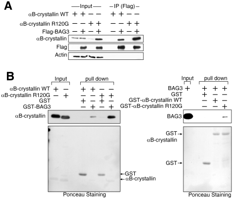 BAG3 recognizes folding status of αB-crystallin. (A) BAG3 binds to mutant type of αB-crystallin strongly. Wild type (WT) or mutant (R120G) αB-crystallin was expressed in HEK293 cells with Flag-tagged BAG3, and the cell lysate was mixed with anti-Flag antibody. Precipitated samples were analyzed by SDS-PAGE using anti-αB-crystallin (upper panel), Flag-tagged BAG3 (middle panel), and actin (lower panel). The sample before <t>immunoprecipitation</t> was also loaded to confirm protein expression (right four lanes). (B) Direct recognition of mutant αB-crystallin by BAG3. Purified GST or GST-fused BAG3 beads were incubated with purified αB-crystallin wild type (WT) or mutant (R120G), and a pull-down assay was performed. Precipitated αB-crystallin was detected with anti-αB-crystallin antibody (upper panel). The same membrane stained with Ponceau is shown below. Mutated αB-crystallin preferentially binds to BAG3. Purified GST, GST-fused αB-crystallin wild type (WT) or mutant (R120G) was mixed with purified BAG3 for a pull-down assay. The detection of BAG3 was achieved with anti-BAG3 antibody after SDS-PAGE. The same membrane was stained with Ponceau (lower panel).