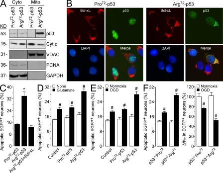 Arg 72 -p53 interacts directly with mitochondrial Bcl-xL and increases neuronal vulnerability to ischemia-induced apoptosis. (A) HEK293T cells were transfected with Arg 72 -p53 or Pro 72 -p53. Cytoplasmic (cyto) and mitochondrial (mito) fractions were isolated and analyzed by Western blotting. <t>VDAC,</t> control for the integrity of the mitochondria. <t>PCNA,</t> control indicating absence of nuclear contamination in the mitochondrial fractions. Black lines indicate that intervening lanes have been spliced out. (B) Rat cortical primary neurons were transfected with Arg 72 -p53-IRES-EGFP or Pro 72 -p53-IRES-EGFP. p53 colocalization with Bcl-xL was analyzed by immunofluorescence. DAPI, nuclear staining. (C) Rat cortical primary neurons were transfected with Arg 72 -p53-IRES-EGFP, Pro 72 -p53-IRES-EGFP, or Arg 72 -p53-IRES-EGFP + Bcl-xL. Apoptosis was measured 14 h later. (D) Neurons were transfected with empty vector (control) or the minimum amount of Arg 72 -p53-IRES-EGFP or Arg 72 -p53-IRES-EGFP cDNA not altering neuronal survival (0.08 µg/10 6 neurons) and were exposed to 100 µM glutamate for 5 min and incubated in culture medium for a further 8 h. Apoptosis was measured. (E) Neurons were transfected as described in D and were exposed to oxygen and glucose deprivation (OGD) for 1 h. Apoptosis was measured. (F) Neurons from Tp53 −/− mice were transfected with human BAC containing the entire Tp53 gene locus encoding either proline (p53 −/− Pro 72 ) or arginine (p53 −/− Arg 72 ) and were exposed to oxygen and glucose deprivation (OGD) for 3 h. Apoptosis was measured. The data in A and B represent four independent experiments. The data in C–F are means ± SEM of four different cell cultures. *, P