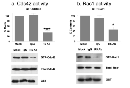 Robo1 signaling activates Rho GTPases in transformed cells. Src transformed cells were treated with R5 antibody or control antiserum (IgG) and examined for total and activated Cdc42 and Rac1 GTPases in panels a and b , respectively. Western blotting was performed to detect active (GTP bound) Cdc42 and Rac1, total Cdc42 and Rac1, and GST. Levels of active Cdc42 and Rac1 were quantitated and shown as the percent of untreated control cells (mean+SEM, n=3). Experiments were performed with Cx43Ko and wild type cells, with results from Cx43Ko cells shown. Single and triple asterisks indicate p values less than 0.5 and 0.005, respectively (by t-test).