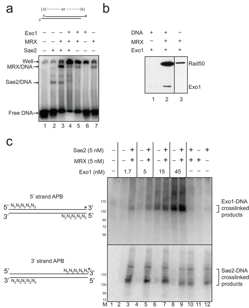 MRX and Sae2 promote Exo1 DNA binding (a) Gel mobility shift assays were performed with wild-type MRX (2.5 nM), Sae2 (2.5 nM), and Exo1 D173A (4 nM) proteins as indicated and a 32 [P]-labeled, double-stranded oligonucleotide substrate containing 4 nt 3' overhangs on both ends. Reactions were incubated for 15 min on ice before separation on a native acrylamide gel. (b) MRX and Exo1 D173A proteins were incubated with biotinylated, blunt 100 bp duplex DNA as indicated, crosslinked with formaldehyde, and proteins bound to the DNA were isolated using streptavidin-coated magnetic beads. Bound protein were visualized by SDS-PAGE and western blotting with anti-Flag antibody for Exo1 and Rad50. (c) Protein-DNA binding assays were performed with a 90 bp blunt DNA substrate, containing 5 azide groups (N 3 ) on the 5' ends of the 5' strands or the 3' ends of the 3' strands as shown in the diagram. Both DNA substrates were labeled with 32 [P] (