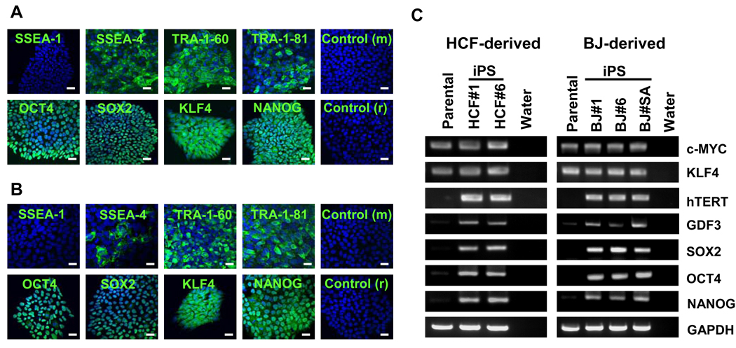 Expression of Pluripotency-Associated Genes in Putative iPS Clones (A) (B) HCF- and BJ-derived iPS clones were analyzed for expression of pluripotency markers by immunostaining. HCF#1 and BJ#SA cells were positive for pluripotency markers SSEA4, TRA-1-60, TRA-1-81, OCT4, SOX2, <t>KLF4</t> and NANOG, while no notable staining was observed for SSEA1. Cells were counterstained with 4', 6-diamidino-2-phenylindole (DAPI). Control (m) and Control (r); control cells treated with FITC-conjugated secondary antibodies against mouse IgG and rabbit IgG. Scale bars indicate 20 µm. (C) HCF- and BJ-derived iPS-like clones were analyzed for pluripotency-associated gene expression by RT-PCR. Total cellular RNA from parental BJ and HCF fibroblasts and no template (water) samples were included as controls. Glyceraldehyde-3-phosphate dehydrogenase (GAPDH) gene transcript was amplified as an internal RNA control.