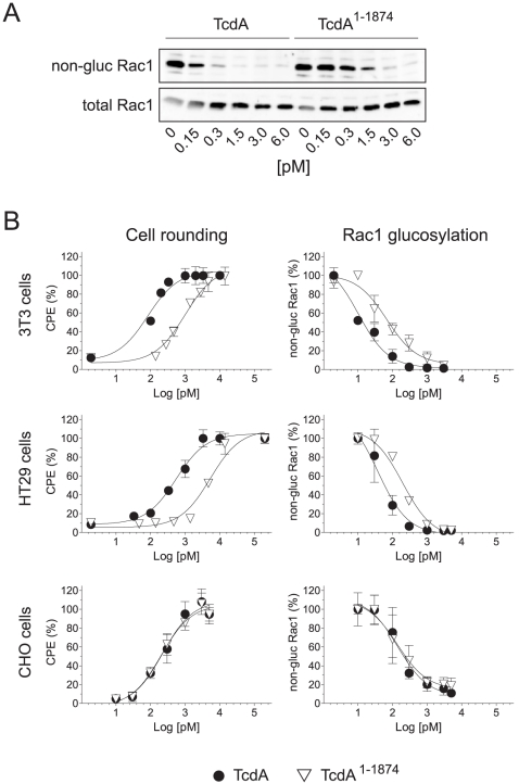 Cytotoxic potency of TcdA and TcdA 1–1874 towards host cells. A) HT29 cells were treated with full length TcdA or TcdA 1–1874 in a concentration-dependent manner until onset of cell rounding. Western blot analysis was performed to monitor level of glucosylated Rac1 using antibodies recognizing either non-glucosylated Rac1 (upper panel) or total Rac1 (lower panel), respectively. B) Dose-dependent analysis of cytopathic effect (CPE) and Rac1-glucosylation induced by TcdA (•) and TcdA 1–1874 (▿) on 3T3, HT29 and CHO-C6 cells. Cytopathic effect was quantified as round cells per total cells in %. Results of Rac1-glucosylation are based on immunoblot analyses exemplarily shown in A). Values are given as means ± SD, n = 3.