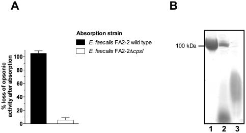 Relationship of diheteroglycan to the biosynthetic product of the cps locus. ( A ) Loss of opsonic activity after absorption of rabbit antiserum raised against E. faecalis type 2 (CPS-C) diheteroglycan with whole bacteria. Before the assay the serum was absorbed with either E. faecalis FA2-2 (CPS-C) wild type or its isogenic, acapsular cpsI mutant ( E. faecalis HG101) for 60 min. Absorbed serum was used at a final dilution of 1∶40 in the assay. Bars represent the mean of four determinations and the error bar the SEM. ( B ) Native PAGE of purified diheteroglycan from E. faecalis type 2 (lane 1), cell wall lysates of E. faecalis FA2-2 wild type (CPS-C, lane 2) and the isogenic cpsI mutant (HG101, lane 3). Cell envelope carbohydrates were released by digestion of peptidoglycan by lysozyme and mutanolysin and acrylamide gels were stained with Stains-All according to the method of Hancock et al. [12] .