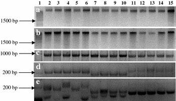 Comparison of DNA extraction methods with 2 μg of genomic DNA and PCR products of Phytophthora and Pythium . a Kamiya and Kiguchi modified protocol; b DNeasy Plant Mini Kit (Qiagen); c 900 bp bands of ITS region; d polymorphic bands of microsatellite P74–75; e polymorphic bands of microsatellite PS36. Lanes 2–6 , P. sojae , isolates: OH 1999 1.S.1.1, OH 2000 Wood 25, OH 2000 Wood 31, OH SS05 MB 4-4-1. Lanes 7–10 , P. sansomeana , isolates: OH Mad 245, OH SS05 3B-2, OH Brown 2312. Lanes 11–15 , P. heterothallicum , isolates: OH Blan B101-32, OH Blan B101-41, OH Blan B101-31, OH Blan B408-14, OH Blan B101-22. Lane 1 : DNA ladders, a , b 0.2 μg of 1 Kb DNA ladder (Promega, USA); c , d , 0.15 μg; e 0.2 μg of 100 bp DNA ladder (Biolabs, USA)