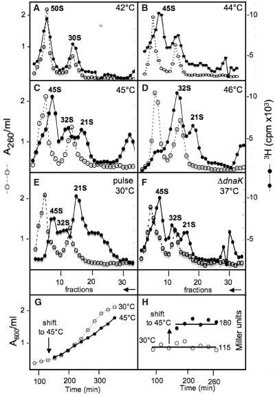 ( A–F ) Sedimentation profiles of ribosomal subunits prepared from strain MC4100 labelled with [ 3 H]-uridine for 1 h at 42°C (A), or 44°C (B), or 45°C (C) or 46°C (D), or from strain MC4100 pulse-labelled with [ 3 H]-uridine for 1 min at 30°C (E), or from strain BB1553 ( ΔdnaK ) labelled with [ 3 H]-uridine for 1 h at 37°C (F). In (E), pulse-labelling with [5- 3 H]-uridine (Amersham, TRK178) isotopically undiluted (28 Ci/mmol) for 1 min was abruptly terminated by the addition of NaN 3  to give a final concentration of 10 mM and by pouring onto an equal volume of crushed ice. Sedimentation is from right to left. A 260 /ml, open circles. [ 3 H] c.p.m. × 10 3 , filled circles. ( G ) Bacterial growth from strain SR6618 [MC4100 Φ( groESL::lacZ )] was followed by measuring the A 600 /ml of the culture at 30°C. At A 600 /ml = 0.25, half of the culture was shifted to 45°C, and bacterial samples were withdrawn from both cultures at every 20 min for β-galactosidase assays. ( H ) β-Galactosidase specific activities were measured following standard procedures (  19 ), and expressed per A 600 /ml of the culture at 30°C or at 45°C, i.e. in Miller units, as follows = 1000 × A 420 /ml /  t  ×  v  × A 600 /ml, where A 420 /ml measures the concentration of the orthonitrophenol produced by hydrolysis of ONPG (ortho-nitrophenyl-β-galactoside),  v  the volume of culture used in the assay in ml, and  t  the time of hydrolysis in minutes. The difference between the β-galactosidase specific activities at 30°C and 45°C reflects the activity of the transcription factor σ 32 , and thus indirectly the decline of available DnaK, which if present would bind tightly to σ 32  and inactivate it.