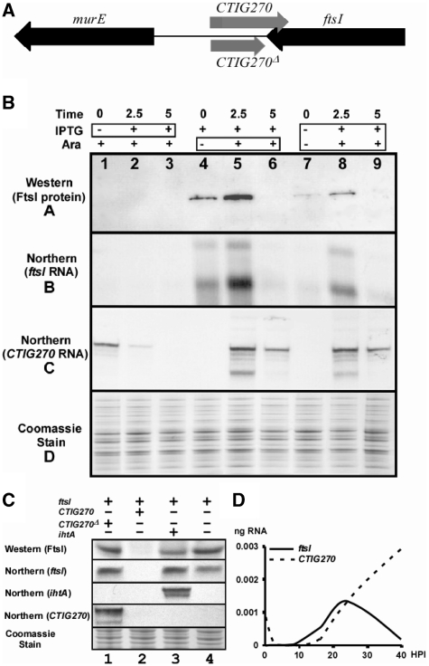 Analysis of the co-expression of the chlamydial ncRNA CTIG270 and the chlamydial ftsI gene in E. coli . ( A ) A schematic showing the location of CTIG270 and flanking genes. ( B) Results of co-expression assays. Samples were prepared using different co-induction protocols and samples were tested for the presence of the FtsI protein and mRNA and CTIG270 . The western blot was developed with an α-Flag-tag antibody. The same samples were run on SDS-Page gels as loading controls and stained with Coomassie Blue. Northern blots for ftsI and CT IG270 were done from RNA preparations from the same samples. The co-induction analysis is shown at the top of the figure. The first three lanes show the results when stimulation with arabinose for 5 h is followed by the addition of IPTG for different times (boxed region) as indicated. In the second set of three lanes, IPTG induction for 5 h was followed by induction with arabinose (boxed region) for the times indicated. In the third set of three lanes induction of both the ncRNA and ftsI were stimulated with IPTG and arabinose (boxed region) for the times indicated. The results indicated that expression of CTIG270 results in the degradation of ftsI mRNA. ( C) Co-expression controls in which the lanes shown are analogous to lane 9 in Figure 5 A in that both plasmids are co-induced for the same length of time. A truncated form of CTIG270 ( CTIG270 Δ ), which does not overlap the 3′-UTR of ftsI , is expressed in lane 1 but has no influence on the expression of FtsI. Expression of full-length CTIG270 however results in the degradation both ftsI mRNA and CTIG270 ( Figure 5 C, lane 2 and as shown in Figure 5 A). Expression of an unrelated ncRNA (IhtA) that acts on hctA mRNA ( 15 ) also has very little effect on the expression of FtsI (lane 3). Expression of FtsI was not affected by the presence of the empty vector pRANGER BTB (lane 4). ( D) Quantitative RT-PCR analysis of the expression profiles of ftsI and CTIG270 throughout the developmental cycle. Measurements were made in triplicate for each time point.