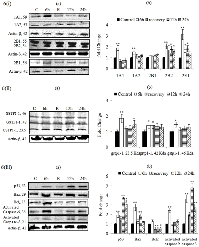 Alterations in the expression of proteins involved in the metabolism [figure-6 (i) a b], oxidative stress [figure-6 (ii) a b], and cell death [figure-6 (iii) a b] were studied in PC12 cells exposed to MCP (10 −5 M) for various time periods. Actin- β was used as loading control to normalize the data. (a) Lane (A): untreated control; (B): Cells exposed to MCP for 6 h; (C): Proteins isolated after 24 h, i.e., 6 h of MCP exposure +18 h without exposure (auto-recovery period); (D): Cells exposed to MCP for 12 h; (E): Cells exposed to MCP for 24 h. (b) Relative quantification of alterations in the expression of different proteins., viz CYP1A1 (59 kDa), CYP1A2 (57 kDa), CYP2B1 (55 kDa), CYP2B2 (54 kDa), CYP2E1 (56 kDa), GSTP1-1 (23.5, 42 and 46 kDa), P 53 (53 kDa), Bax (29 kDa), Bcl 2 (23 kDa), activated caspase-9 (35 kDa), activated caspase-3 (21 kDa), and Actin-β (42 kDa) in PC12 cells exposed to MCP (10 −5 M) for various time periods. Actin-β was used as internal control to normalize the data. Quantification was done in Gel Documentation System (Alpha Innotech, USA) with the help of AlphaEase™ FC StandAlone V.4.0 software. * = P