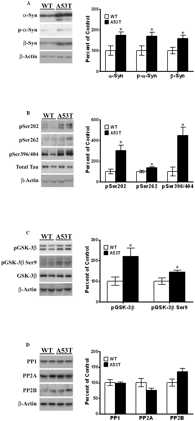 "Elevated levels of α-Syn, p-Tau and p-GSK-3β in striata of α-Syn A53T mutant mice. Striata from wild type non-transgenic mice and A53T α-Syn mutant transgenic mice, 8 months of age, were dissected and homogenized in RIPA buffer, and analyzed by Western blots, as described under "" Materials and Methods "". After exposure to initial antibodies, blots were stripped and probed for other proteins. The blots show representative gels while the bar graphs are composites summarized from all animals ( n = 4–9). (A) α-Syn and p-α-Syn were expressed relative to β-actin used as a loading control. (B). p-Tau was probed using antibodies specific for pSer202, pSer262 and pSer396/404, and expressed relative to total Tau used as loading control. (C). p-GSK-3β levels were probed using antibodies which recognize phosphorylation at Tyr216, and expressed relative to total GSK-3β. (D) PP1, PP2A and PP2B levels were probed using specific antibodies and normalized to β-actin. Asterisks (*) indicate values significantly different from wild-type animals ( P"