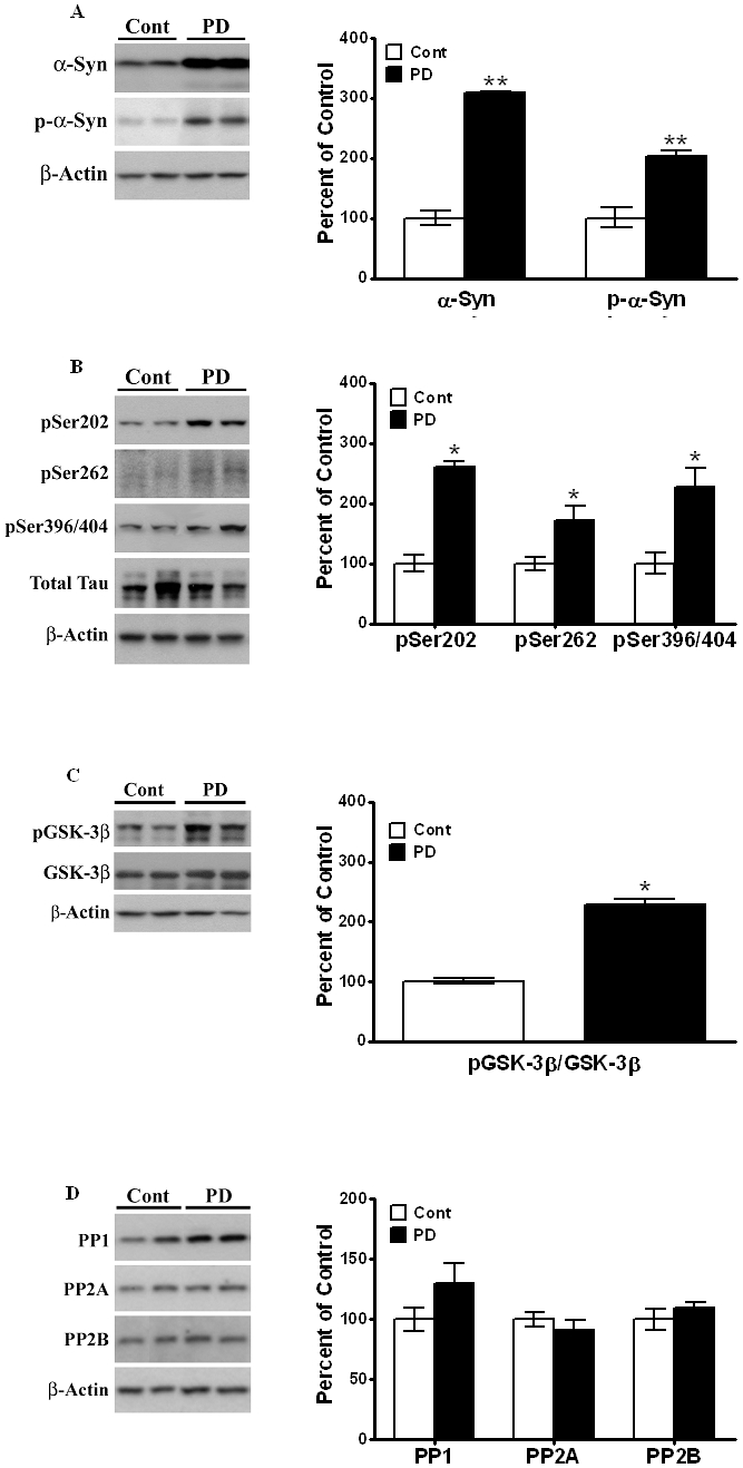 Postmortem PD brains show increased levels of α-Syn, p-GSK-3β and p-Tau at phosphorylation sites Ser202, Ser262 and Ser396/404 similar to striatum in the 8 month-old A53T mice. Postmortem control and PD brain lysates were prepared and immunoblots probed for (A) α-synuclein and p-α-synuclein, (B) phospho-specific Tau epitopes at Ser202, Ser262 and Ser396/404 and (C) p-GSK-3β. (D) PP1, PP2A and PP2B levels were probed using specific antibodies and normalized to β-actin. Representative immunoblots from postmortem samples are shown. β-actin levels were measured as loading controls. Increases in the level of α-synuclein and are normalized to β-actin and data are expressed as a percent increase relative to amounts present in control, non-diseased brains (100%). Phospho-specific Tau and p-GSK-3β are expressed as a percent increase with respect to non-diseased controls (100%) after normalization to total Tau and GSK-3β, respectively. Values are mean ± SEM. Asterisks (*) indicate values significantly different from age-matched control postmortem striata (p