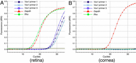 Representative Vsx1 qRT-PCR amplification plots. Amplification plots of qRT–PCR of wild type mouse retinal ( A ) and corneal ( B ) samples using primers for Vsx1 , Gapdh and Rho shown in Table 1 . x-axis shows qRT–PCR cycle number, y-axis shows SYBR-green fluorescence values.