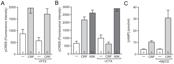 CRFR1 couples to Gα s in striatal neurons. (A) Pre-treatment with pertussis toxin (PTX; 500 ng/mL) did not affect CRF-induced pCREB ( F = 11.10). (B) CTX blocked CRF-induced CREB phosphorylation, but had no effect on MAPK-dependent CREB phosphorylation induced by depolarization (60 K; F = 35.15). (C) CRF (4 µM) increased cAMP concentrations in the presence of the cholesterol chelator methyl-β-cyclodextrin (MβCD; 10 mM).