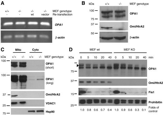 Differences in OPA1 levels are due to protein accessibility. (A) Semiquantitative RT-PCR was performed on mRNA isolated from Omi/HtrA2 WT or KO and re-transfected MEF cells. There are no differences in the OPA1 mRNA levels (upper panel). Amplification of β-actin served as loading control (lower panel). (B) For analysis of the full cell content, 150,000 control and Omi/HtrA2 KO MEF cells were harvested, lysed directly in Laemmli SDS-PAGE sample buffer and analyzed by Western blot. Immunoblots were probed with anti-OPA1 (short and long exposure) and anti-Omi/HtrA2 and β-actin was used as a loading control. (C) Mitochondrial and cytosolic fractions prepared from Omi/HtrA2 WT and KO cells were subjected to Western blotting and analyzed for localization of both OPA1 and Omi/HtrA2. The purity of the cytosolic (Cyto) and mitochondrial (Mito) fractions was assessed by probing for Hsp90 and VDAC1, respectively. (D) Mitochondria isolated from control (left lanes) or Omi/HtrA2 KO (right lanes) MEF cells were subjected to <t>proteinase</t> K digestion for indicated time points. Western blots were prepared and probed with anti-OPA1 and anti-Omi/HtrA2 as indicated. The outer membrane associated protein Fis1 was rapidly degraded whereas the inner membrane protein prohibitin was shielded. The higher molecular weight OPA1 band densitometrically analyzed (arrow head) is indicated and the fold change compared to untreated (time point 0) is shown below the Western blot (D).