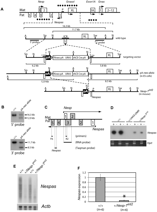 The targeted allele, Nesp-T int2 , is a Nespas hypomorph when paternally inherited. (A) Overview of the mouse Gnas locus showing enlargement of the Nespas region and the site of insertion of the rabbit β-globin polyadenylation cassette in Nespas exon 1. The targeting vector shows the location of a 1.2 kb fragment (pA) from the rabbit β-globin gene to truncate Nesp , and the selection genes were flanked by loxP sites (open triangles). The selection genes were deleted from the pA- neo targeted allele upon male germline transmission by Cre-recombinase mediated excision to generate Nesp-T int2 . The DMRs are shown by the presence of filled circles on the methylated allele. A, Avr II; N, Nde I; Sp, Spe I; Sw, Swa I; P, Nespas promoter; ICR, Imprinting Control Region, the extent of which is defined by the deletion in the Δ NAS-DMR allele [8] . (B) Southern analysis of ES cell DNA from wild-type (+/+) and targeted (pA- neo ) cells. The pA- neo targeted clones were identified by the presence of an 8.5 kb Nde I fragment detected with the 3′ external probe. Correct targeting at the 5′ end was confirmed by the detection of a 12.9 kb Avr II fragment with the 5′ external probe. (C) Schematic of the Nesp - Nespas region showing overlapping transcription on the sense and antisense strands and the position of RT-PCR primers, a single stranded RNA probe and TaqMan assay for detecting the primary Nespas transcript. (D) RT-PCR analysis of Nespas in neonatal brain after paternal transmission of Nesp-T int2 (+/ Nesp-T int2 ) using primers F6 and R2 (Figure 2C; Table S1 ). +/Δ NAS-DMR , mice with paternal deletion of the ICR [8] ; + and −, presence and absence of reverse transcriptase, respectively; Hprt , amplification control. (E) RNA blot analysis showing expression of Nespas in poly(A) + RNA from 15.5 dpc embryos using the single stranded RNA probe shown in Figure 2C. (F) Bar chart showing the relative level of Nespas expression in newborn brain by RT-qPCR using a TaqMan assay within intron 4 (Figure 2C). The reference gene was Gapdh . Error bars (RQmin/RQmax) were based on a 95% confidence level.