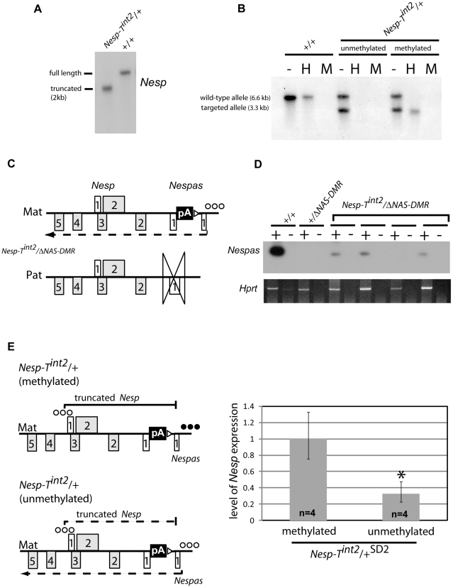 Maternal transmission of Nesp-T int2 results in downregulation of Nesp when the Nespas DMR is unmethylated. (A) The maternal Nesp transcript is truncated in Nesp-T int2 /+. RNA blot analysis showing expression of Nesp in poly(A) + RNA from 15.5 dpc embryos using the single stranded RNA probe shown in Figure 2C . (B) Southern analysis showing the Nespas - Gnasxl DMR promoter can be unmethylated or methylated on the maternal allele in Nesp-T int2 /+. Genomic DNA from newborn brain was digested with Eco RI (-), Eco RI and Hpa II (H), or Eco RI and Msp I (M) and probed as shown in Figure S1 . (C) Schematic showing the genomic organization of the double heterozygote with Nesp-T int2 maternally inherited and Δ NAS-DMR paternally inherited. The polyadenylation cassette, pA, truncates Nesp on the maternal allele and the ICR is deleted on the paternal allele. (D) RT-PCR showing Nespas is weakly expressed in neonatal brain from the maternally-derived targeted allele when the Nespas DMR is unmethylated. Primers were as described in Figure 2C . + and −, presence and absence of reverse transcriptase, respectively; Hprt , amplification control. (E, Left) Schematic summary of the transcriptional and methylation status of the maternal allele of Nesp and Nespas in Nesp-T int2 /+ (methylated) and Nesp-T int2 /+ (unmethylated) newborn brain. The polyadenylation cassette, pA truncates Nesp on the maternal allele. Row of filled circles, methylated allele; row of open circles, unmethylated allele. (E Right) Bar chart showing the relative level of Nesp expression in newborn brain by RT-qPCR between Nesp-T int2 /+ SD2 littermates that had the Nespas DMR methylated and unmethylated. Nesp levels were measured using the TaqMan assay detecting exon 1 spliced onto exon 2. The level of Nesp was significantly lower in littermates that had the Nespas DMR unmethylated compared with those that had a methylated DMR ( P = 5.4×10 −3 ).