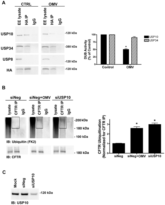 Cif selectively inhibits USP10 activity in early endosomes. A. Cif-containing OMV reduced the activity of a 110 kDa deubiquitinating enzyme (DUB) as assessed by a DUB activity assay in cells treated with ΔCif-OMV (Control) or Cif-containing OMV (15 min treatment; see Methods and [20] , [21] , [45] ). The DUB activity assay employs a HA-UbVME probe that forms an irreversible, covalent bond only with active DUBs. Identification of DUBs covalently linked to the HA-UbVME probe was achieved by immunoprecipitation of the HA-UbVME-DUB complex using an anti-HA monoclonal antibody followed by SDS-PAGE and western blot analysis. The 110 kDa DUB was identified as USP10 by Western blot. <t>USP34</t> and USP8 were also identified in early endosomes by western blot, however, the DUB activity assay revealed that USP34 was active, but its activity was not altered by Cif. By contrast, USP8 activity was not detected. Quantitation for all western blot experiments is presented to the right. All experiments were repeated at least 3 times, * p