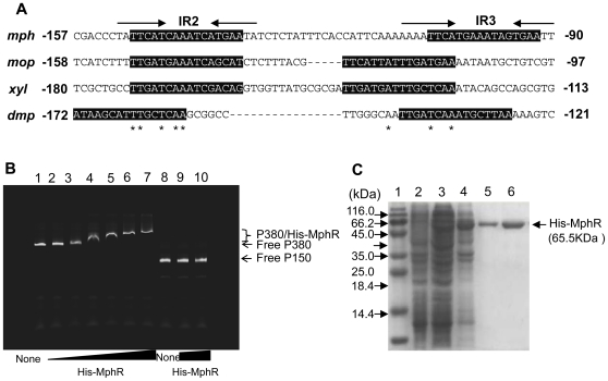 Electrophoretic mobility shift assay. (A) Comparison of the upstream region of the mphK promoter with the corresponding regions of the mop gene cluster of A. calcoaceticus NCIB8250, the xyl upper gene cluster of Pseudomonas putida mt-2 (TOL), and the dmp gene cluster of Pseudomonas sp. CF600. Grey-shaded boxes show the putative upstream activating sequences (UASs) in the mph , mop , xyl , and dmp gene clusters to which the corresponding XylR/DmpR-type regulators bind. (B) gel retardation analysis of His-MphR binding to the mphR - mphK intergenic region. Gel-mobility shift assay was performed as described in the text using a 380-bp fragment (P380) covering the mphR - mphK intergenic region. Lane 1 is a control lane containing 2.5 nM of labeled P380 fragment only. Lane 2–7 contains 2.5 nM of the labeled P380 fragment incubated with 5, 10, 20, 30, 40 and 50 nM His-MphR protein. Lane 8 is containing 2.5 nM of labeled DNA fragment amplified using two primers, IRDye-labeled M13-F and M13-R, and plasmid pGEM T-vector as template, named P150. Lane 9–10 contains 2.5 nM of the labeled P150 fragment incubated with 30 and 50 nM His-MphR protein, respectively. The positions of the free DNA and the MphR-DNA complex are indicated. (C) SDS-PAGE of purified His-MphR protein from E. coli BL21 (pEMR). Lane 1: Molecular markers with their masses indicated; Lane 2: Uninduced of BL21 (pEMR); Lane 3: BL21 (pEMR) induced by 0.1 mM IPTG; Lane 4: BL21 (pEMR) induced by 0.5 mM IPTG; Lane 5: MphR purified by NTA resin and eluted by NTA-60; Lane 6: MphR purified by NTA resin and eluted by NTA-80.