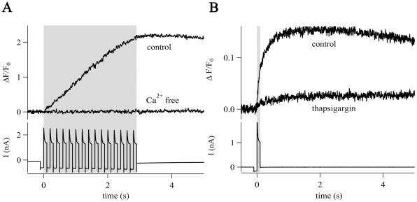 CICR in NG2 cells. (A) Train stimulation (gray box, bottom trace) evoked [Ca 2+ ] i elevations in the presence of Ca 2+ -containing bath solution but not in Ca 2+ -free bath solution (0 mM Ca 2+ , 2 mM EDTA). Traces represent the average of 5 cells. (B) Single pulses (gray box, lower trace) induced [Ca 2+ ] i elevations that were sensitive to thapsigargin (1 µM, elevation decreased to 10%) indicating a contribution of Ca 2+ -release from intracellular stores. Traces represent the average of 5 cells.