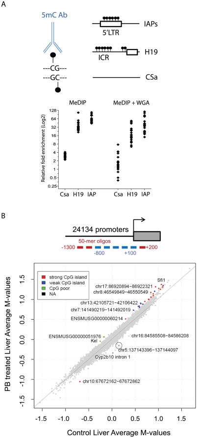 MeDIP-promoter array profiling of the methylome in the liver of control and PB treated B6C3F1 mice. ( A ) An antibody directed against 5-methyl-cytosine (5mC) was used for immunoprecipitation of methylated DNA. Control sequences that are highly methylated (IAP, H19 ICR) or lack CpGs (CSa) were selected as controls for the MeDIP experiment prior to and following whole genome amplification (WGA). The relative enrichment in the bound over input fractions for 10 individual biological replicates was measured by qPCR. ( B ) Methylation comparison between liver of control and PB-treated mice (average log 2 (IP/total) for replicates) in all 23,428 Nimblegen probe sets. The colors indicate the CpG island class for those probe sets where the log 2 methylation ratio of PB-treated vs. control (difference in M-value) is significant (p≤0.01 and an absolute log 2 fold change of ≥0.2, 28 probe sets), non-differentially methylated regions are indicated in grey. A circle highlights Cyp2b10 .