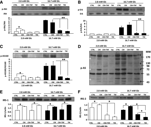 Action of conditioned medium on Akt, ERK, AS160, and Akt substrates phosphorylation after glucose stimulation, or IRS-1 and -2 protein expression in rat primary β-cells. Conditioned media and abbreviations as described in the legend to Fig. 3 . After 24-h culture in conditioned medium, β-cells were incubated 1 h at 2.8 mmol/L or 16.7 mmol/L glucose (Glc). Open bars = 2.8 mmol/L glucose; closed bars = 16.7 mmol/L glucose. Western blots were scanned and data normalized to total protein or actin as indicated. N = 3 independent experiments. A : Akt Ser 473 phosphorylation. * P