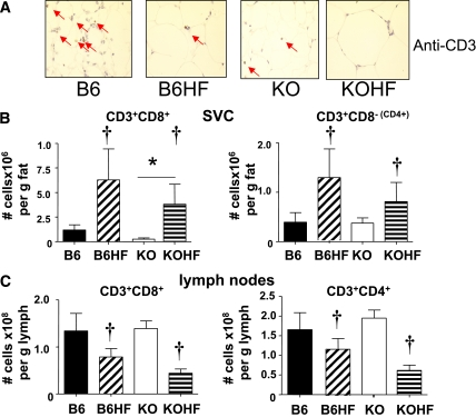 T-cell levels in adipose tissues of C57BL/6J and 11β-HSD1 −/− mice fed HF diet for 4 weeks. A : Anti-CD3 staining in mesenteric adipose sections from C57BL/6J (B6) and 11β-HSD1 −/− mice (KO) fed control or HF diet (B6HF, KOHF) (representative of n = 5). Note fat cell expansion causes the appearance of lower CD3 + cells/area, but there is actually an increase per depot as shown in B . FACS quantification of T-cell numbers in mesenteric ( B ) adipose SVC, and ( C ) adipose lymph nodes from C57BL/6J mice fed control (■) or HF (▨) diet and 11β-HSD1 −/− mice fed control (□) or HF (▤) diet. CD8+ cytotoxic T-cells are shown on the left , and CD3 + CD8 − (a surrogate for CD4 + T-helper cells) FACS data are shown on the right ; n = 4, with adipose pooled from two mice per condition. Effects of diet are shown as significant: † P