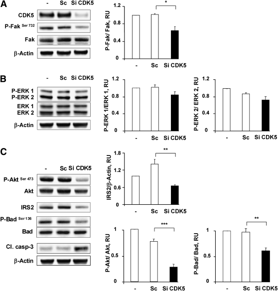 Loss of CDK5 activity results in the attenuation of the Fak/Akt survival pathway. A – C : INS 832/13 cells were transfected for 48 h with scramble (Sc) or CDK5 siRNAs (50 nmol/L). Protein levels of CDK5, Fak, Akt, Bad, ERK1/2, cleaved caspase-3, and phosphorylation levels of Fak Ser732 , Akt Ser473 , ERK1/2, and Bad Ser136 were analyzed by Western blot ( left panels ). β-Actin was used as loading control. The right panels represent the quantification of the Western blot ( n = 4). * P