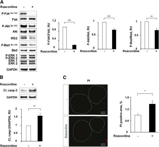 Roscovitine treatment decreases Fak/Akt survival pathway and induces apoptosis in rat islets. A – C : Isolated WT rat islets were cultured in the absence or presence of roscovitine 10 μmol/L for 48 h. A and B : Protein levels of Fak, IRS2, Akt, Bad, ERK1/2, cleaved caspase-3, and phosphorylation levels of Fak Ser732 , Akt Ser473 , ERK 1/2, and Bad Ser136 were analyzed by Western blot. GAPDH was used as loading control. The graphs represent the quantification of the Western blots. C : Islet apoptosis was assessed by PI staining. The graph represents the quantification of the islet area positive for PI, expressed in % ( n = 7). * P
