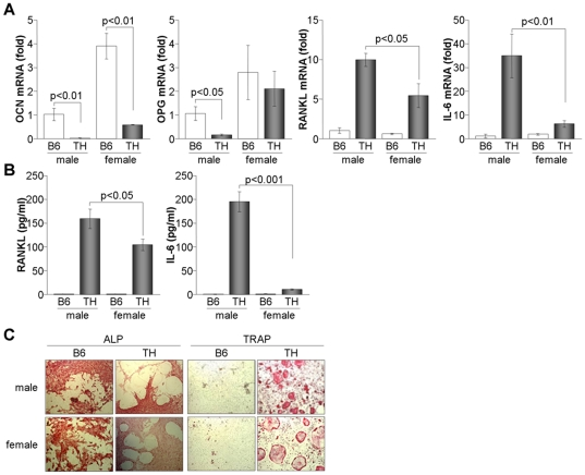 Imbalance of osteoblasts and osteoclasts in bone marrow of TH mice. (A) Total RNA was isolated from bone marrow cells of B6 and TH mice at 8 weeks of age (n = 6) and used for real time-PCR analysis. Relative expression levels of OCN, OPG, RANKL, and IL-6 were calculated after normalization to the level of β-actin. (B) Culture supernatants were collected from bone marrow cells, and RANKL and IL-6 levels were determined by ELISA. (C) Bone marrow cells were isolated and cultured for 24 h. After removal of floating cells, cells were maintained in DMEM supplemented with ascorbic acid (50 µg/ml), β-glycerophosphate (2 mM) and dexamethasone (10 nM) for 8 days. Cells were fixed and stained with either ALP or TRAP.