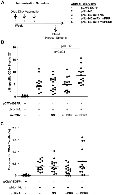 miRNA knockdown of PERK increases the immunogenicity of DNA vaccination. ( A ) Immunisation schedule. BALB/c mice were vaccinated three times at one week intervals with the indicated plasmids. Two weeks after the final vaccination, mice were sacrificed and spleens and blood samples were harvested. Splenocytes were isolated and restimulated with ( B ) 1 µM/ml p18 peptide or ( C ) recombinant NL4.3 gp140 protein. Cytokine secretion was prevented by the addition of 2 µg/ml brefeldin-A and samples were stained with monoclonal antibodies for muCD4, muCD8β, and muIFN-γ and analysed by flow cytometry. Data is shown as the proportion of CD4+ or CD8+ T-cells positive for IFN-γ secretion, minus the background stimulation observed with media alone. Pooled results are shown from two independent vaccination experiments and the mean indicated by the solid bars (n = 16 except Group 2 (pNL-140) and Group 5 (pNL-140 miR-muPERK) where n = 15). Results were compared using a Mann-Whitney U test.