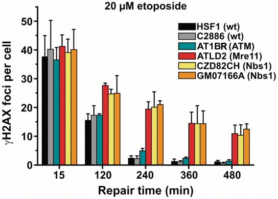 <t>Etoposide-induced</t> DSB repair by NHEJ involves the MRN complex. γH2AX foci kinetics were assessed in primary human fibroblasts. Mre11-defective (ATLD2) and Nbs1-defective (CZD82CH and GM07166A) but not ATM-defective primary human fibroblasts (AT1BR) exhibit elevated foci levels after 20 µM etoposide treatment in G0/G1 phase. Background foci numbers were subtracted. Error bars represent the SD from at least three different experiments.