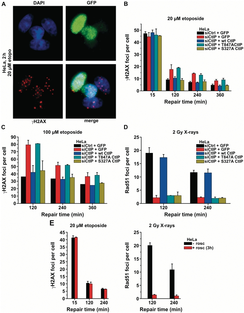 CtIP function during repair of etoposide-induced DSBs in G1 requires Thr-847 phosphorylation. ( A ) HeLa cells were depleted for endogenous CtIP by siRNA and transfected with various GFP-tagged CtIP plasmids. Only GFP-positive cells in G1 were analyzed. ( B ) γH2AX foci kinetics in HeLa cells after 20 µM etoposide. Cells transfected with the CtIP mutation T847A but not the mutation S327A exhibit a repair defect. Background foci numbers were subtracted. Error bars represent the SD from at least three different experiments. ( C ) γH2AX foci kinetics in HeLa cells after 100 µM etoposide. Background foci numbers were subtracted. Error bars represent the SD from at least two different experiments. ( D ) Rad51 foci in CENP-F positive G2-phase HeLa cells after 2 Gy X-rays. Cells transfected with the CtIP mutation T847A or the mutation S327A exhibit a defect in the formation of Rad51 foci. Background foci numbers were subtracted. Error bars represent the SD from at least two different experiments. ( E ) γH2AX and Rad51 foci analysis in HeLa cells treated with the CDK inhibitor roscovitine (rosc) for 3 h prior to etoposide treatment or irradiation. CDK inhibition does not affect γH2AX foci levels after etoposide treatment in G1-phase cells but inhibits Rad51 foci formation after 2 Gy X-irradiation in G2-phase cells. Background foci numbers were subtracted. Error bars represent the SD from at least two different experiments.