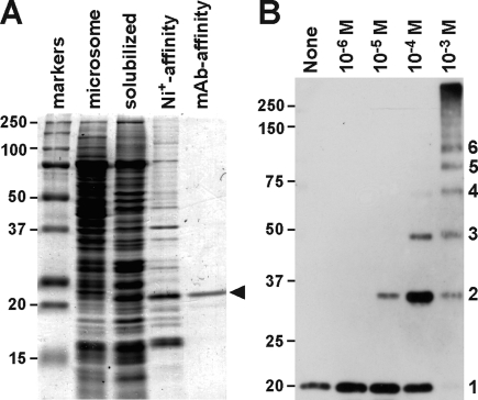 Purification and cross-linking of MG23. (A) Purification of recombinant MG23 from cDNA-transfected yeast cells. The cell lysate fraction, microsomal fraction, Ni affinity-purified fraction, and immunoaffinity-purified fraction were analyzed via SDS−PAGE. Proteins were visualized by Coomassie blue staining, and recombinant MG23 is marked with an arrowhead. (B) Cross-linking of purified recombinant MG23. An affinity-purified recombinant MG23 preparation was treated with the cross-linker disuccinimidyl glutarate at concentrations of 10 −6 −10 −3 M, and the resulting products were examined by immunoblotting using mAb-N; monomeric to hexameric products are numbered. Size markers are indicated in kilodaltons.