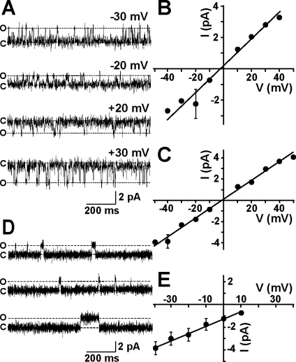 Single-channel behavior of MG23. (A) Representative single-channel recordings of native MG23 from rabbit skeletal muscle in solutions of symmetrical 260 mM KCl and 20 mM HEPES (pH 7.2). The holding potentials are indicated, and O and C represent the open and closed channel levels, respectively. (B) Single-channel current−voltage relationship of recombinant MG23 in symmetrical 260 mM KCl solutions ( n = 3). (C) Single-channel current−voltage relationship of recombinant MG23 in symmetrical 260 mM K-PIPES solutions ( n = 5). (D) Channel gating of recombinant MG23 with Ca 2+ as the permeant ion. The bathing solutions contained 250 mM HEPES, 80 mM Tris (pH 7.2), and 15 μM free Ca 2+ in the cis chamber and 250 mM glutamic acid and 10 mM HEPES (pH 7.2) with Ca(OH) 2 (free Ca 2+ concentration of 65 mM) in the trans chamber. The holding potential was 0 mV. Channel openings at holding potentials more positive than 10 mV could not be resolved. (E) Current−voltage relationship of MG23 under the conditions described in panel D ( n = 5). The data represent means ± the standard deviation.