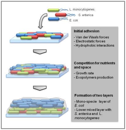 Schematic representation of the tri-species biofilm formation showing the main steps and the key factors involved on the two layers appearing.
