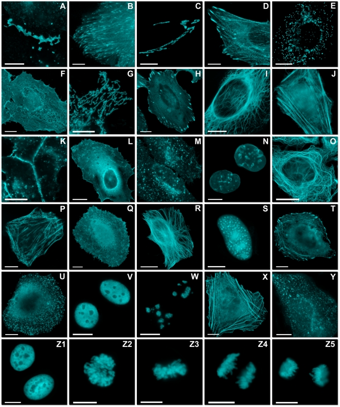 Fluorescence imaging of mCerulean3 fusion vectors. Images were recorded in widefield or laser scanning confocal fluorescence microscopy. (A–M) Fusions to the N-terminus of mCerulean3; for each fusion protein the linker amino acid (aa) length is indicated after the name of the targeted organelle or fusion protein. The origin of the targeting cDNA is indicated in parenthesis. (A) mCerulean3-Cx43-7 (rat); (B) mCerulean3-EB3-7 (human microtubule-associated protein; RP/EB family); (C) mCerulean3-Golgi-7 (N-terminal 81 aa of human β-1,4-galactosyltransferase); (D) mCerulean3-α-actinin (human); (E) mCerulean3-PMP-10 (human peroxisomal membrane protein 2); (F) mCerulean3-c-src-7 (chicken c-src tyrosine kinase); (G) mCerulean3-mitochondria-7 (human cytochrome C oxidase subunit VIII); (H) mCerulean3-zyxin-7 (human); (I) mCerulean3-vimentin-7 (human); (J) mCerulean3-lifeact-7 (N-terminal 17 aa from S. cerevisiae Abp 140); (K) mCerulean3-VE-Cadherin-10 (human vascular epithelial cadherin); (L) mCerulean3-fascin-10 (human fascin); (M) mCerulean3-lysosomes-20 (human lysosomal membrane glycoprotein 1; LAMP-1). (N–Y) Fusions to the C-terminus of mCerulean3. (N) mCerulean3-lamin B1-10 (human); (O) mCerulean-MAP4-10 (mouse microtubule associated protein 4, nucleotides 1918–3135); (P) mCerulean3-lc-myosin-10 (mouse myosin light chain 9); (Q) mCerulean3-CDC42-10 (human cell division cycle 42); (R) <t>mCerulean3-α-tubulin-6</t> (human); (S) mCerulean3-PCNA-19 (human proliferating cell nuclear antigen); (T) mCerulean3-profilin-10 (mouse profilin); (U) mCerulean3-clathrin light chain-15 (human); (V) mCerulean3-CAF1-10 (mouse chromatin assembly factor 1); (W) mCerulean3-fibrillarin-7 (human fibrillarin); (X) mCerulean3-β-actin-7 (human); (Y) mCerulean-Rab5a-7 (human GTPase Rab5a). (Z1–Z5) mCerulean3-H2B-6 (human) illustrating the various phases of mitosis. (Z1) interphase; (Z2) prophase; (Z3) metaphase; (Z4) anaphase; (Z5) early telophase. Scale bars indicate 10 µm.